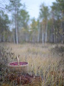 Клюква болотная (Oxycoccus palustris)