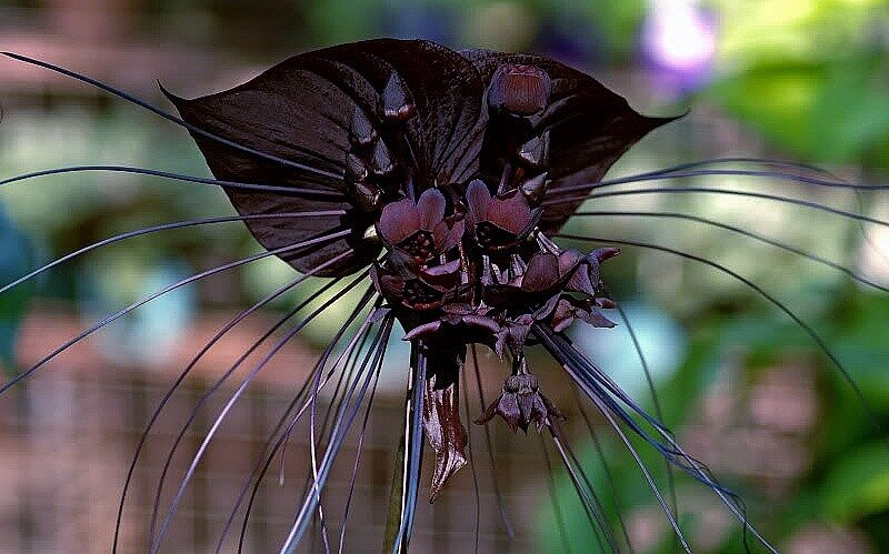 цветок летучая мышь фото