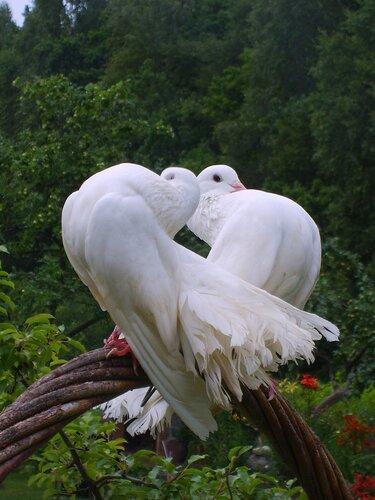 """Схема вышивки  """"Любовь и голуби """": схема."""