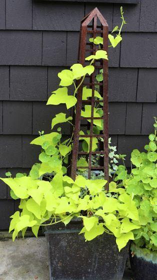 Плющ: идеи дизайна для квартиры или сада