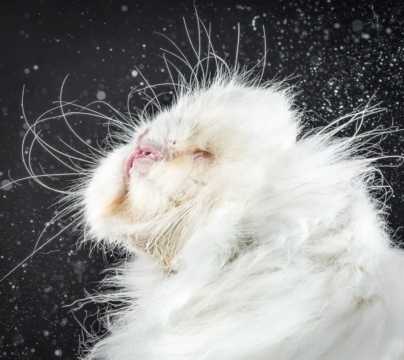 Забавные фотографии отряхивающихся кошек