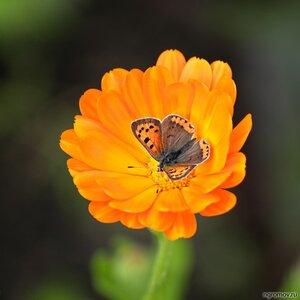 Бабочка в цветке (бабочка, календула, цветок)