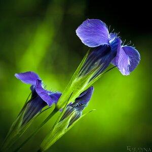 Цветы горечавки