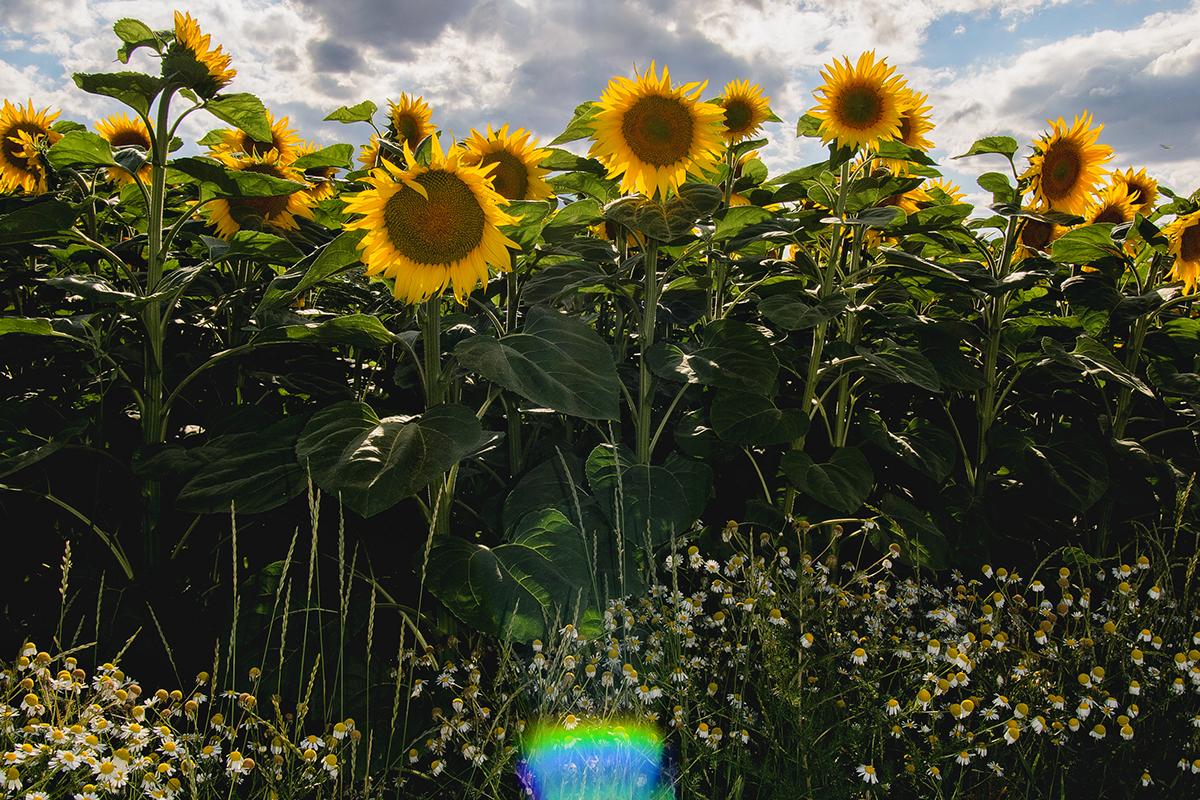 Подсолнухи / Sunflowers by Ernst Schwendinger