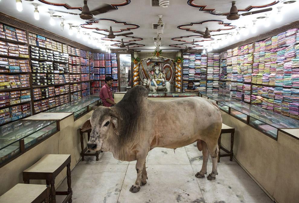5. Когда вы впервые встречаетесь с шотландской высокогорной коровой , они производят совершенно