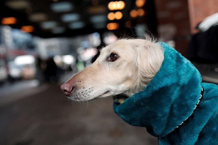 2. Скромность. Афган — охотничья порода собак. Похожа на Салюки, c более густой шерстью. (Фото Timot