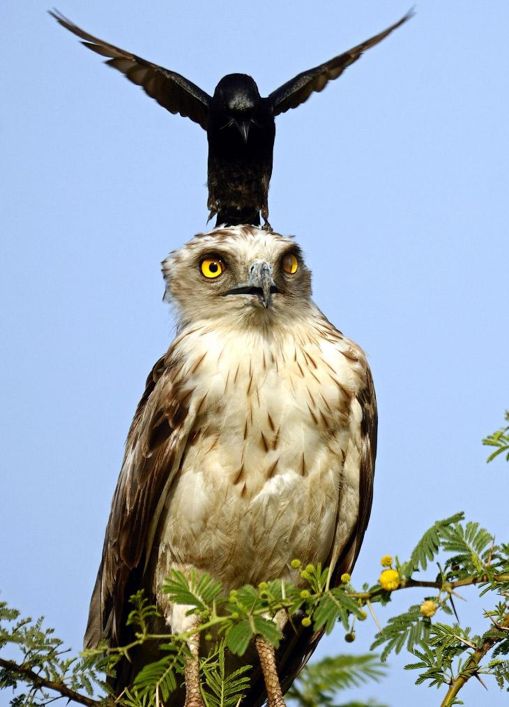 2. Ворона покружит, покружит… (Фото Greaves B. Henriksen):