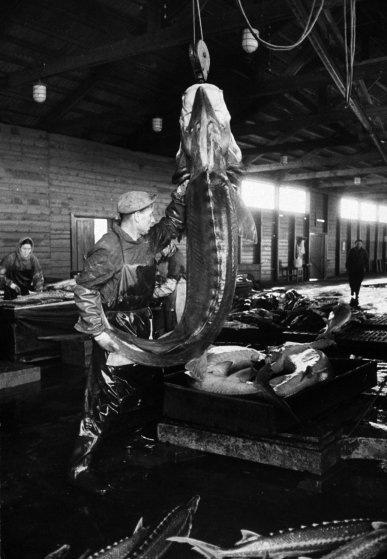 Белуга подвешена для извлечения икры. В советское время большую часть икры получали, забивая рыбу. С