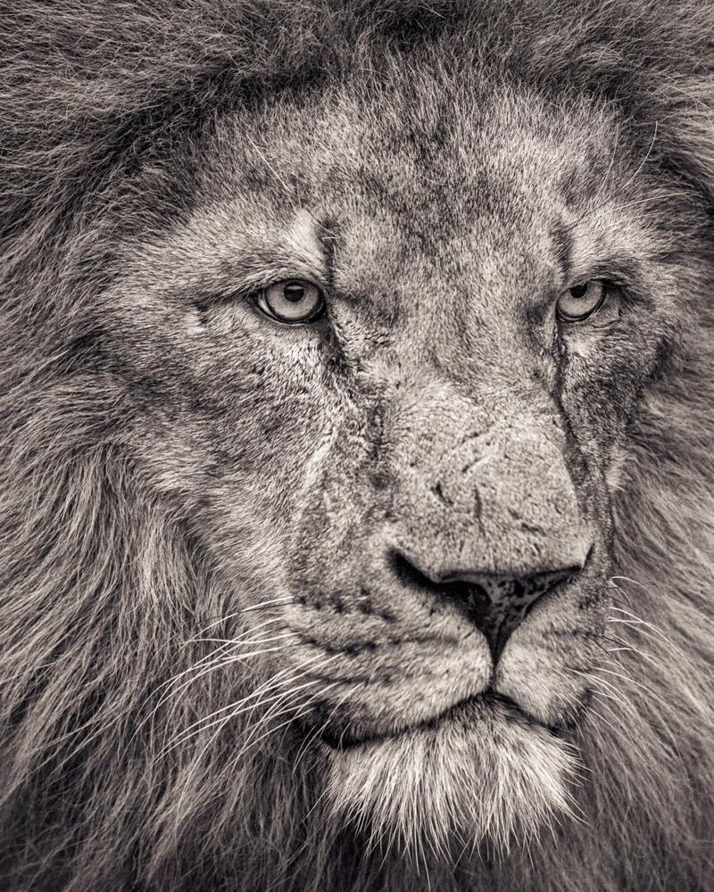 7. По разным оценкам, к 2050 году львы могут полностью исчезнуть из природы. (Фото Paul Coghlin