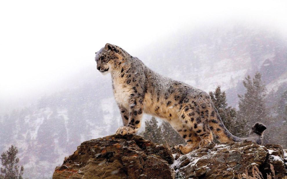 4. Живут снежные барсы высоко в горах. Есть зафиксированные случае обнаружения ирбиса на высоте