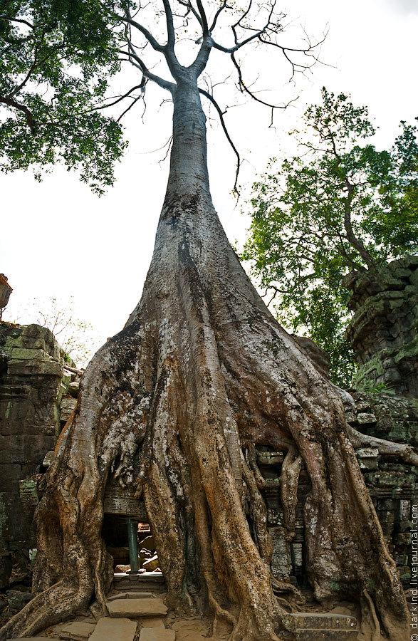 Эти примечательные деревья, возвышающиеся над стенами и выразительно оплетающие их корнями, называют