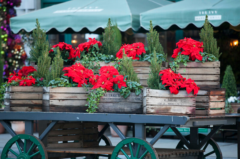 Beautiful red christmas flower poinsettia as Christmas symbol hanging on market in Europe.