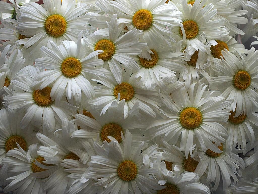 Белые реснички ромашек