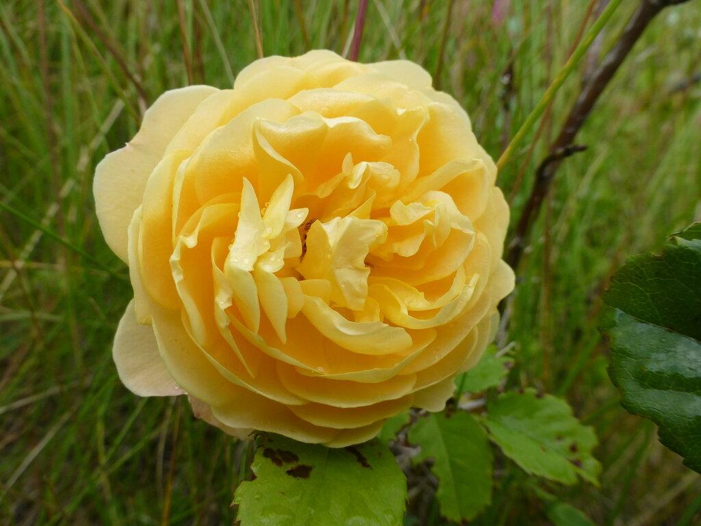 Розы с яйцами и прочие дачные радости L1280008.JPG