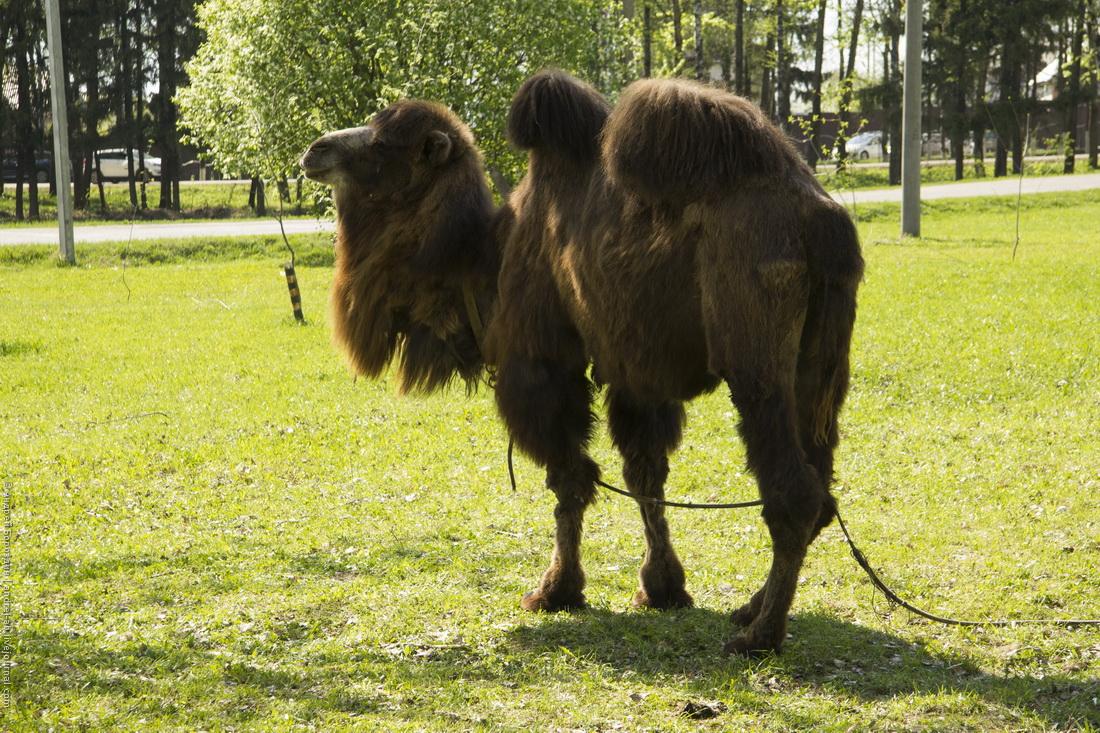 Верблюд у парка 60-летия Победы в Переславле-Залесском.