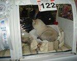 Imperial Brilliant White Bear /BRI ny25 33/