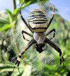 Голубой паук-4.jpg