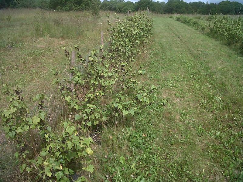 Черенкование смородины в сентябре-Смородина через год
