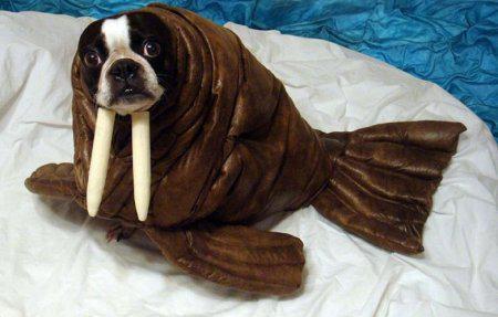 собака в костюме тюленя