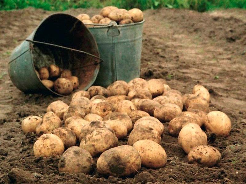 когда копать молодую картошку