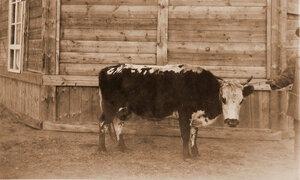 Корова Верочка буропестрая  (5 лет) местной породы, Зерентуйского приюта для детей ссыльно-каторжных.