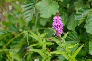 s:травянистые,d:по берегам рек и ручьев,b:прямостоячий,l:супротивные,l:по длине стебля,l:ланцетные,соцветия - метелки,соцветия - колос,c:фиолетовые или лиловые,c:красные,c:розовые,околоцветник актиноморфный,околоцветник сростнолепестный,лепестков 5 редко,лепестков 6