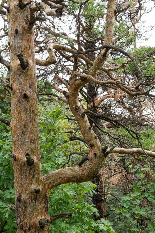 Ветви сосны