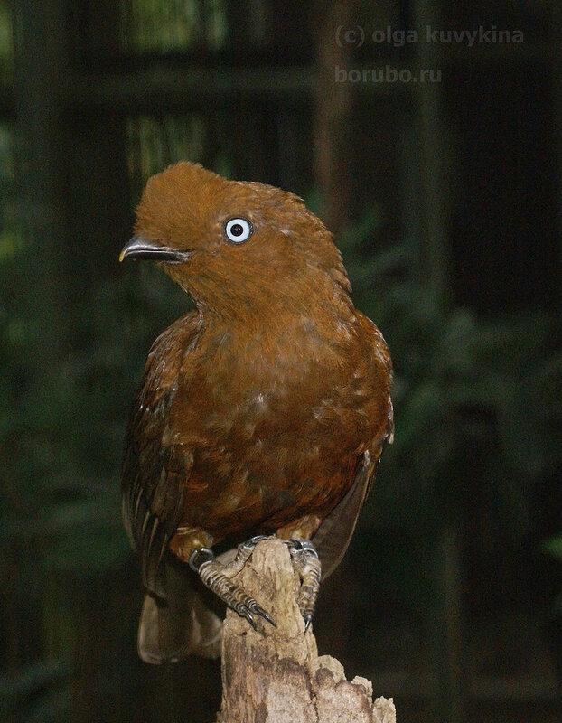 Андский скальный петушок самка (Rupicola peruviana), самка / Национальная птица Перу