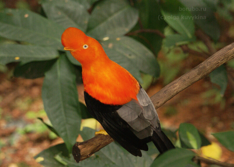 Андский скальный петушок (Rupicola peruviana), национальная птица Перу / семейство Котинговые