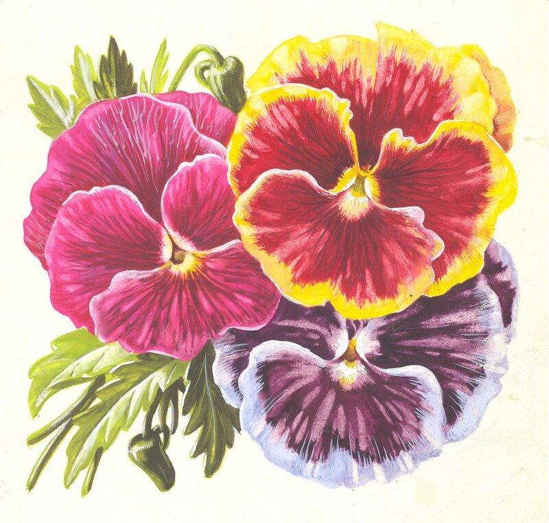 Картинки анютины глазки цветы нарисованные