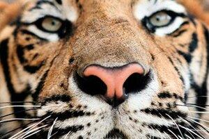В Хасанском районе Приморья тигр напал на ферму и поел коров