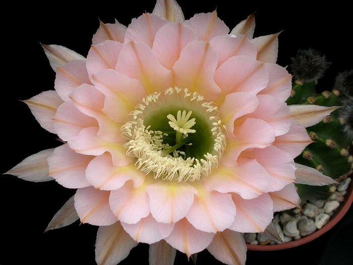Echinopsis hybrid 'Edwardian Lady'.jpg