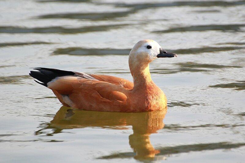 Огарь (красная утка, Tadorna ferruginea) - утка рыжего (оранжево-коричневого) окраса с более светлой головой и почти гусиным профилем
