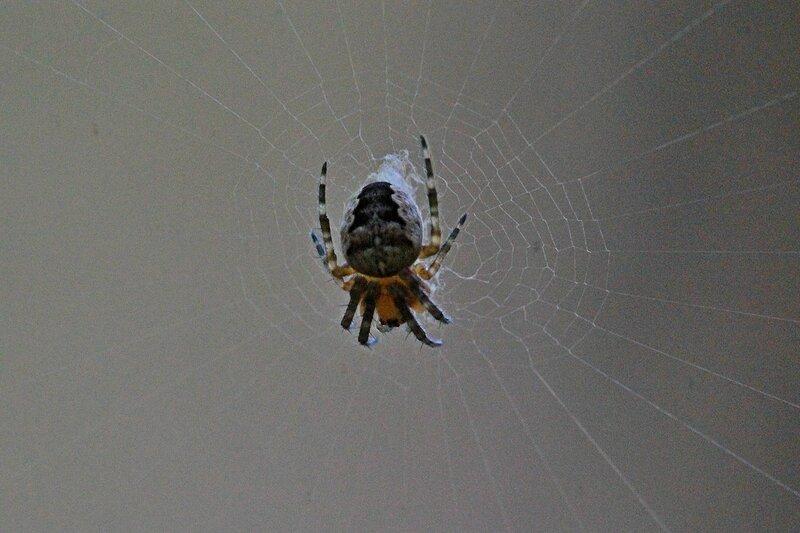 паук-крестовик в центре сплетённой паутины ожидает добычу