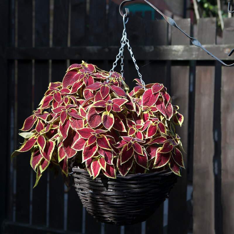 Coleus Blumei (Solenostemon scutellarioides) with flamboyant colors in wicker basket as a decoration of the garden