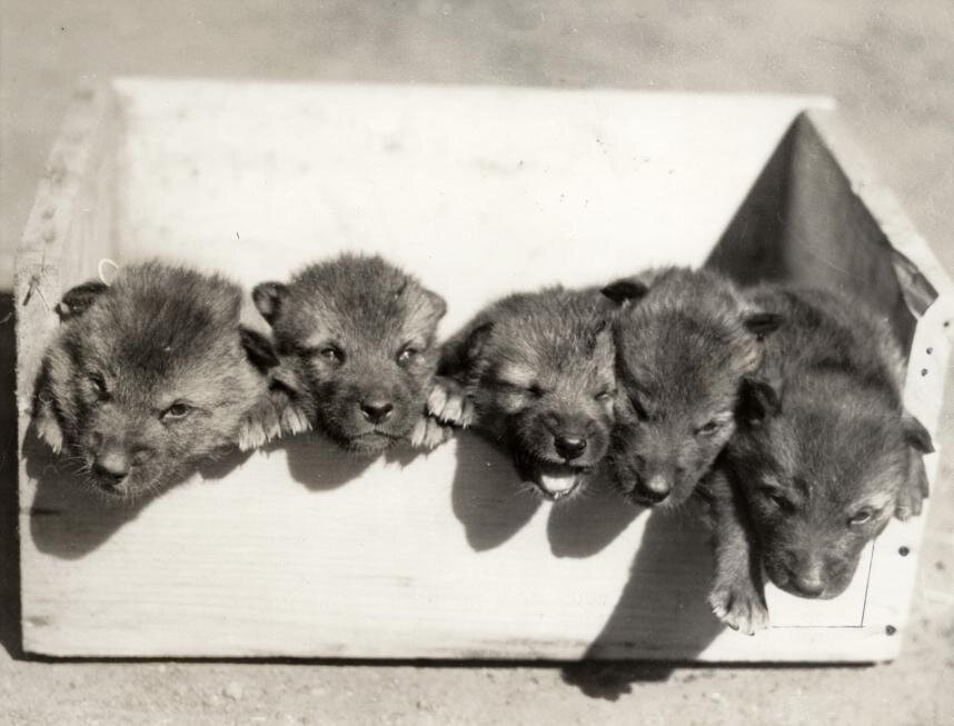 Five young wolves in a zoo. San Fransisco, 1933