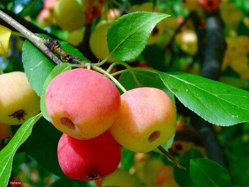 Райские яблочки..