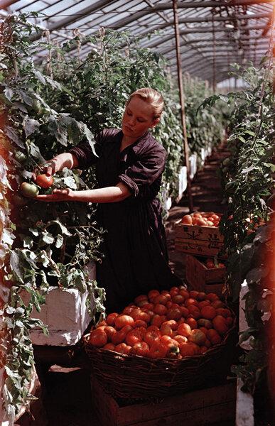 Сбор помидоров в тепличном хозяйстве