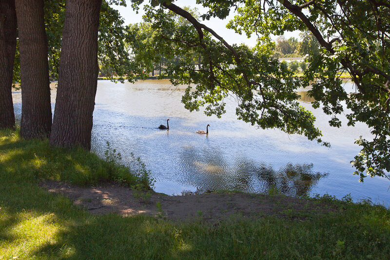 Лебеди и тени