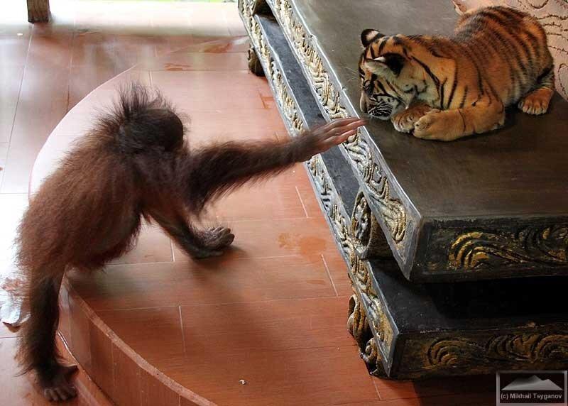 Тигренок и орангутанчик