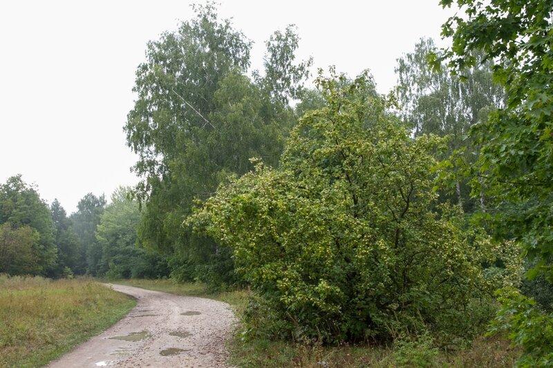 Яблоня у дороги, Жигулевский заповедник