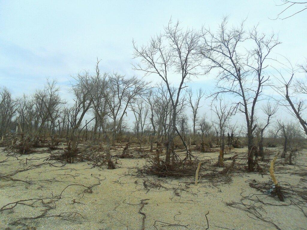 Зимовка деревьев ... SAM_5622.JPG