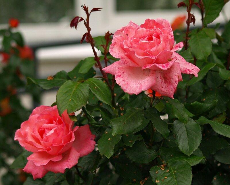 "Роза ""Brinessa"""