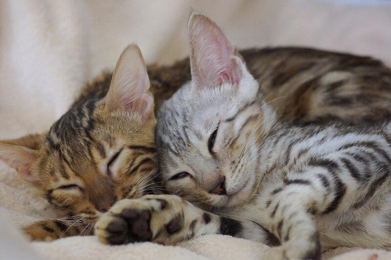 Котята бенгалы