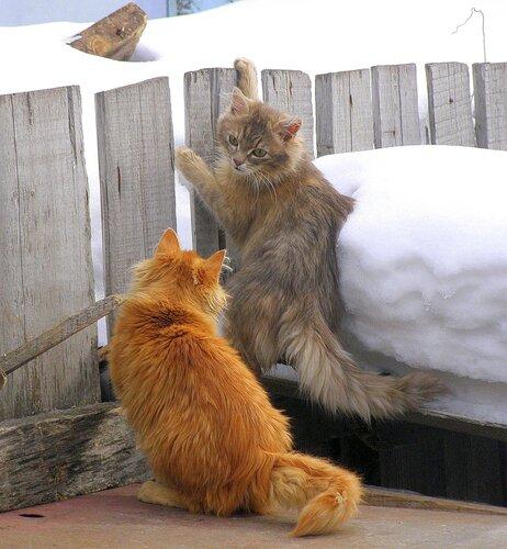 Пушистые коты