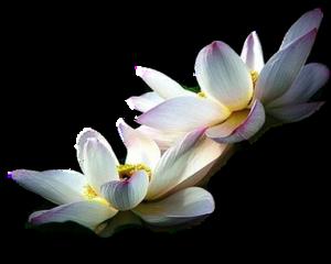 papatya resimleri, papatya, sümbül, papatya 0_500fa_45539d88_M