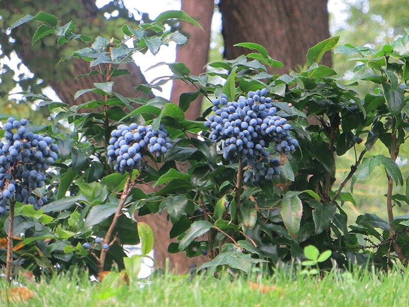 Плоды магонии