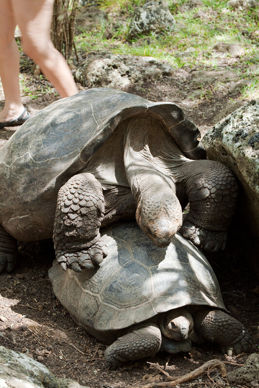 Гигантская галапагосская черепаха (Chelonoidis elephantopus)