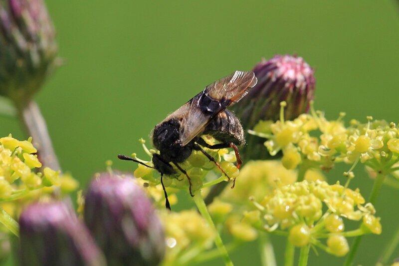 Дикая чёрная пчела с тёмными пятнышками на крыльях. Возможно, пчела-плотник.
