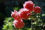 YQ2A2392.JPG Розы и солнце.